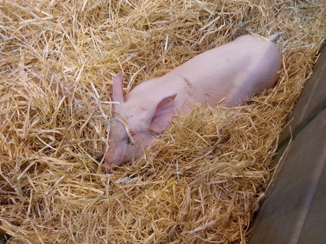 Carrefour et Système U mettront en avant de nouveaux engagements en matière de bien-être animal sur leurs produits.